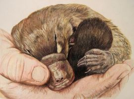 Baby Platypus by TanjaLouiseArtist