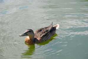 Duck - 3 by Tempting-Resources