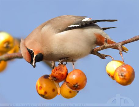 WaxWing Feast by thrumyeye