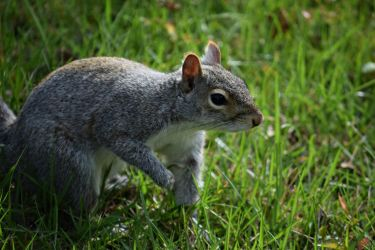 Sandy, the squirrel by Aponi06