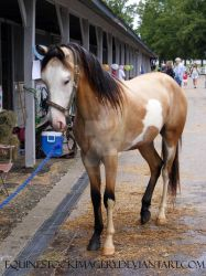 Paint Horse 45 by EquineStockImagery
