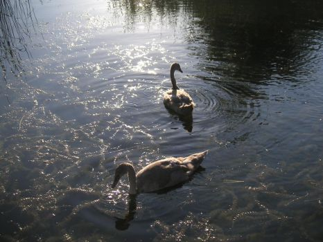 Two Young Swans by tilianus