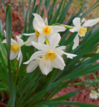 White Narcissus by Calypso1977