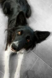 Border Collie by crepish