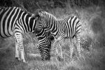 Mama and Baby Zebra by heatherae