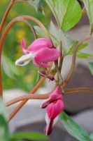 Bleeding Hearts by MadGardens