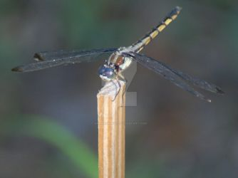 Dragonfly by annehawholt