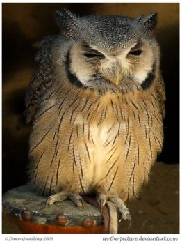 White-faced Scops Owl by In-the-picture