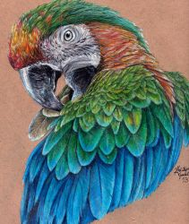 Catalina Macaw Preening by KristynJanelle