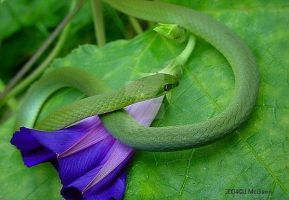 Smooth Green Snake 2004 2 by seto2112