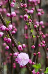 Tender pink. by Phototubby