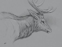 Young elk sketch  by normanrawnart