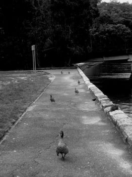 A Procession of Ducks by KyuubifiedNaruto