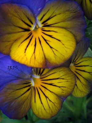 PANSY 1 by Iris-cup