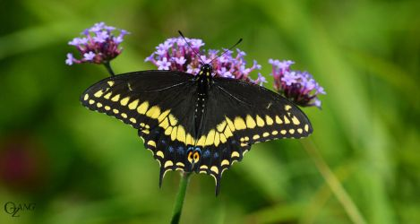 Eastern Black Swallowtail by WildPencil