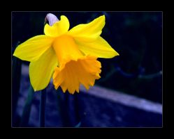 Daffodil by dook