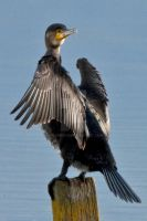 Cormorant-3 by welshbeck