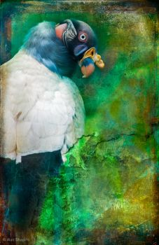 Finer Feathered Friends- King Vulture by ashapiro515
