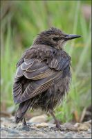 Young Starling by kootenayphotos