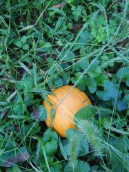 Pumpkin on the Vine 1 of 2018. by FH7publishing