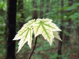 White Maple by Tithis