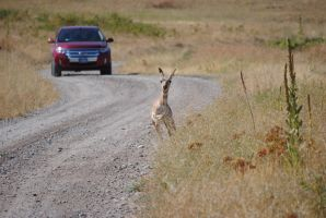 Pronghorn on the Road 003 by Mad-Willy