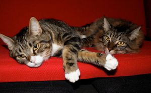 Brown Cats Red Couch 8 by edwardvb