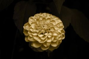 Lonely Dahlia by kenazmedia