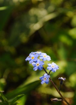 Beautiful Forget Me Not by Forestina-Fotos