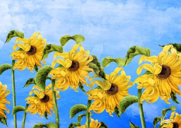 Where the Sunflowers Grow by DVerissimo