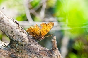 Butterfly Polygonia c-album open by VitoDesArts