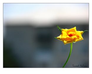 Sweet Yellow by XtraVagAnT