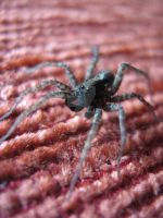 Spider with cute eyes by Sisanu