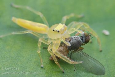 Yellow jumper with prey ( MG 4900 copy) by orionmystery