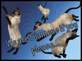 Siamese Cats by Stock-by-Dana