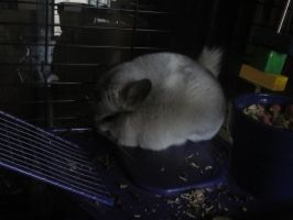 Admin Gots a Chinchilla by Ask-Death-The-Kid