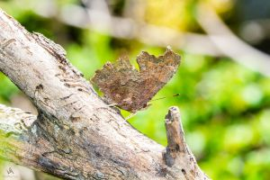 Butterfly Polygonia c-album closed by VitoDesArts