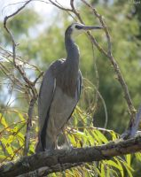 white faced heron by kiwipics