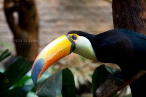 Toucan by Vic-R