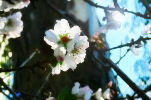 Tree Blossoms 2 by Frostola