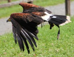 Harris Hawk 1 by Chocomix-Stock