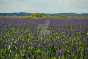 Water Hyacinths, Payne's Prairie State Preserve by Charmed-n-Captivated