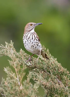 Brown Thrasher 002 by Elluka-brendmer