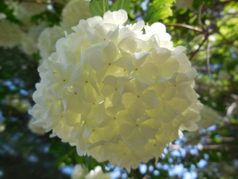 Snowball Bush flower by Dogman15