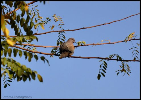 Laughing Dove by HazemSultan