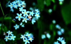 forgetmenot widescreen wp by blackasmodeus