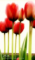 Tulips by MiLExiS