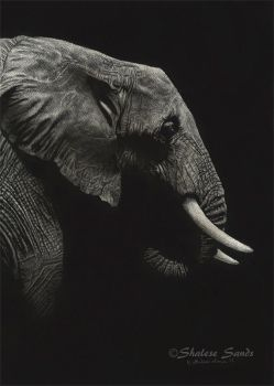 African Beauty - Scratchboard by ShaleseSands