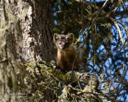 American marten in fir tree 1 by themanitou