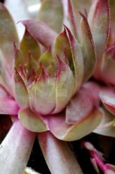 Stunning Succulent by chiziwhiteafrican